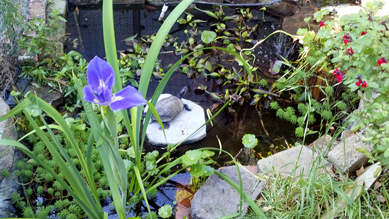 A pond with a blue iris and a turtle basking in the sun.