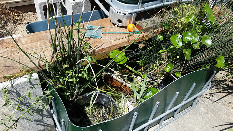 Half an IBC Tote, painted green and containing a variety of pond plants. A board crosses the top of the tank, bearing the growbed whic overlaps a corner of the square tank.