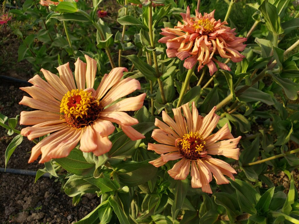 Three light orange, almost peach-colored flowers.