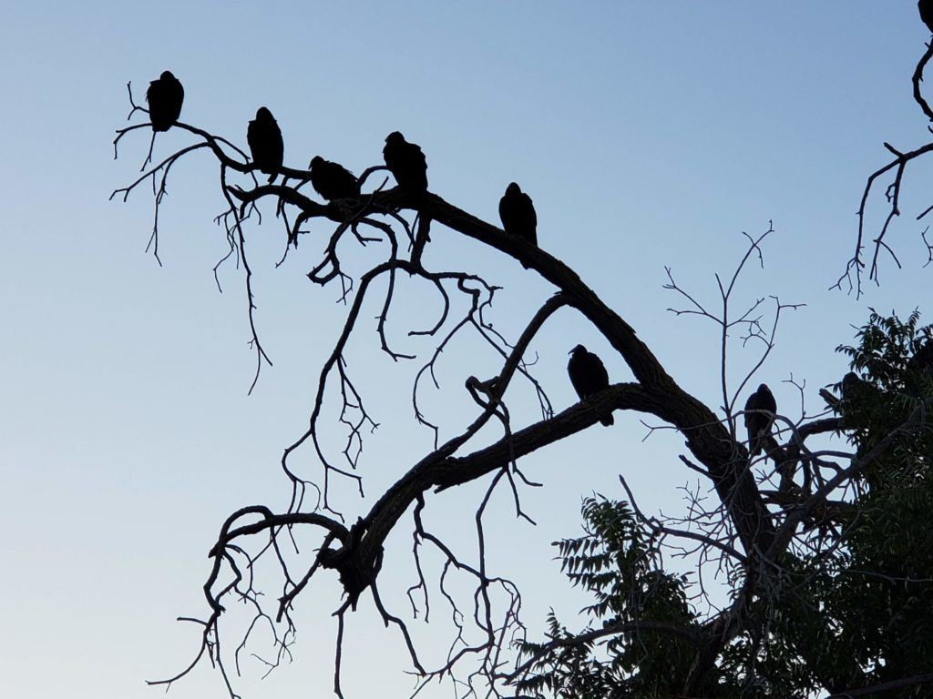 Vultures in a tree waiting for me, forming silhouettes against the pale morning sky.